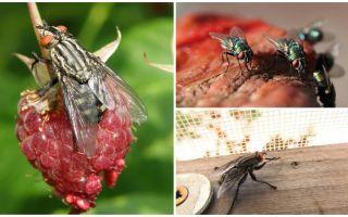 विवरण और फोटो घर मक्खियों