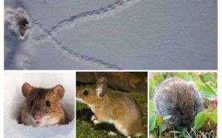 बर्फ में चूहों के निशान