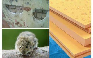चूहों extruded polystyrene फोम खाते हैं