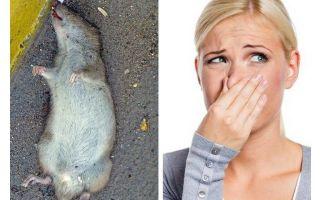 फर्श के नीचे एक मृत चूहे की गंध से छुटकारा पाने के लिए कैसे