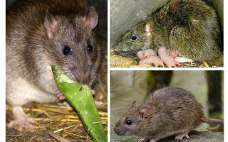 जंगली चूहों