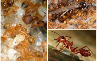 फिरौन चींटियों