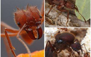 चींटियों के पत्ते कटर