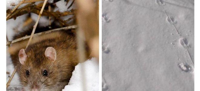 बर्फ में चूहे के ट्रैक कैसा दिखते हैं