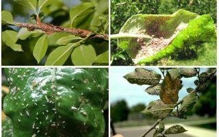 पेड़ों में एफिड्स से कैसे छुटकारा पाएं