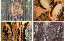 एक लकड़ी के घर में छाल बीटल से कैसे निपटें