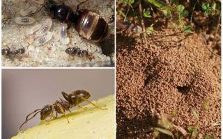 गार्डन ब्लैक चींटियों