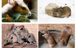 चूहों के बारे में दिलचस्प तथ्य