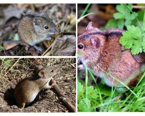 फील्ड चूहों