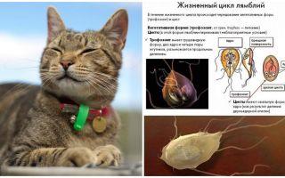 बिल्लियों में जिआर्डिया के लक्षण और उपचार