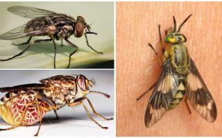 तस्वीरों और विवरणों के साथ मक्खियों की किस्में