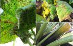 कैसे zucchini पर एफिड्स से छुटकारा पाने के लिए