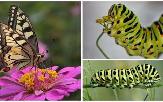 माचॉन तितली के कैटरपिलर का विवरण और फोटो