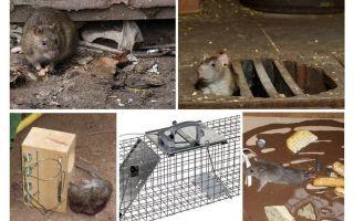 बेसमेंट लोक उपचार से चूहे को कैसे हटाएं