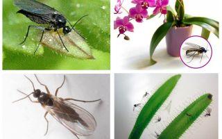 कवक मच्छर से छुटकारा पाने के लिए कैसे (sciarid)
