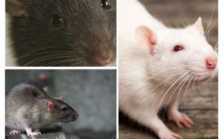 चूहा दृष्टि