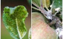 सेब के पेड़ों पर एफिड्स से कैसे छुटकारा पाएं