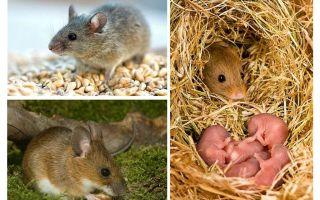 चूहों का जीवनकाल