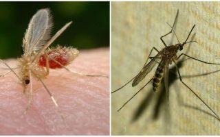 मच्छरों और मच्छरों के बीच क्या अंतर है?