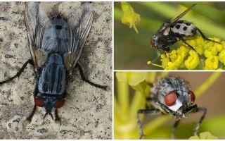 विवरण और फोटो wolfarth मक्खियों