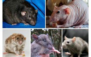 चूहे की प्रजातियां