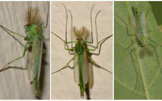 ग्रीन बेल मच्छर (डर्गन मच्छर)