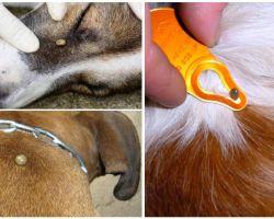 एक कुत्ते में काट लें - घर पर लक्षण, प्रभाव और उपचार
