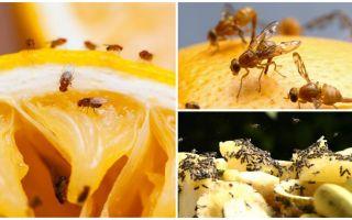 रसोई की दुकान और लोक उपचार में फल मक्खियों से छुटकारा पाने के लिए कैसे