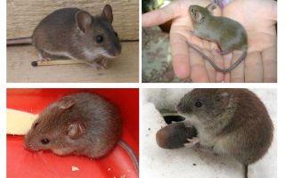 हाउस चूहों