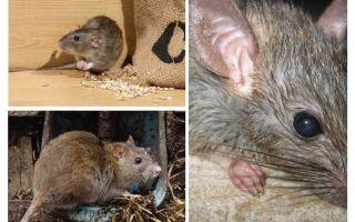 चूहों मनुष्यों पर हमला कर सकते हैं