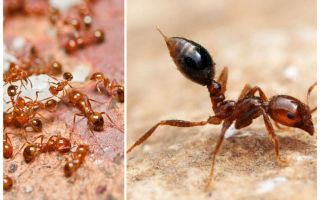 एक अपार्टमेंट में छोटे लाल चींटियों से छुटकारा पाने के लिए कैसे