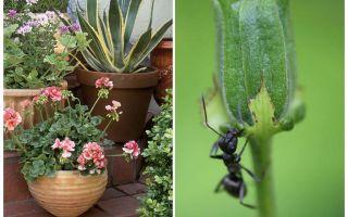 एक फूल के बर्तन से चींटियों को कैसे हटाएं