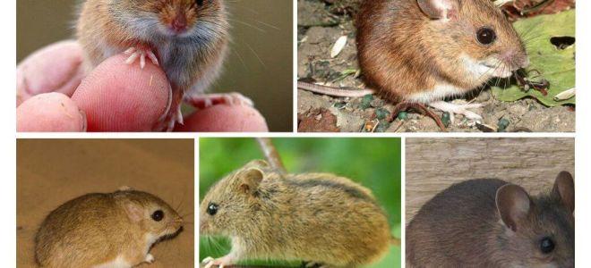 चूहों के प्रकार और प्रकार