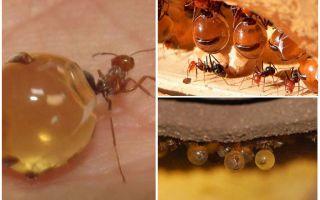 शहद चींटियों
