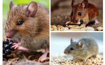 चूहों क्या खाते हैं