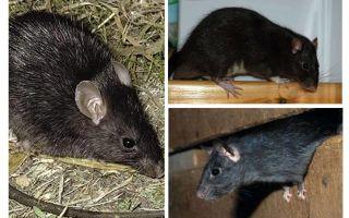 ब्लैक चूहों
