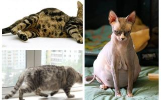 गर्भवती बिल्ली से fleas को कैसे हटाएं