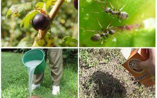 Currants पर चींटियों और एफिड्स से कैसे निपटें