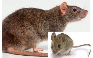 माउस और चूहे के बीच क्या अंतर है?