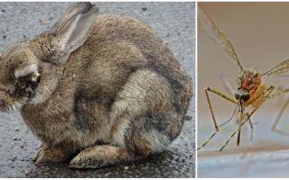 सड़क पर और खरगोश में मच्छरों से खरगोशों को कैसे बचाएं
