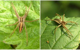 सारतोव क्षेत्र के मकड़ियों के विवरण और तस्वीरें