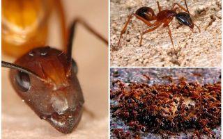 लाल आग चींटियों