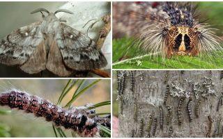 साइबेरियाई रेशम की किरण के कैटरपिलर और तितली का विवरण और फोटो