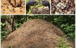 एक चींटी में चींटियों का जीवन