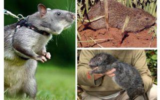 दुनिया में सबसे बड़ी चूहों