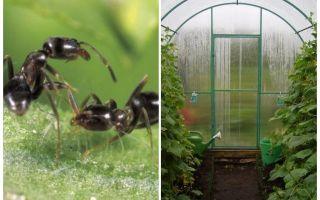 ग्रीनहाउस लोक उपचार में चींटियों से कैसे निपटें