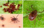 Ixodic ticks का विवरण और फोटो