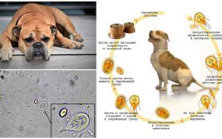 कुत्तों में जिआर्डिया के लक्षण और उपचार
