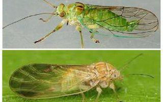 घर में हर्बल fleas से छुटकारा पाने के लिए कैसे