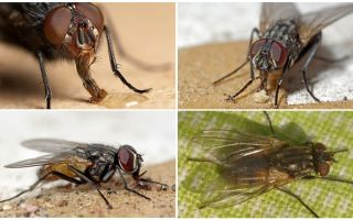जीवन काल मक्खियों